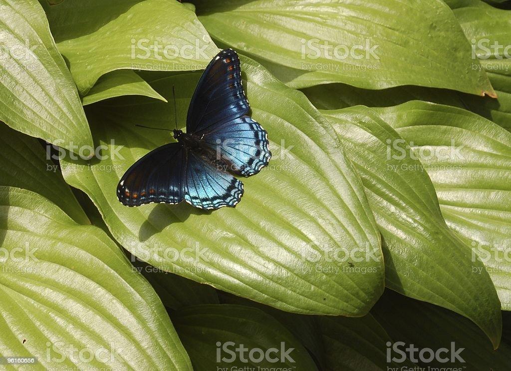 Butterfly Hosta stock photo