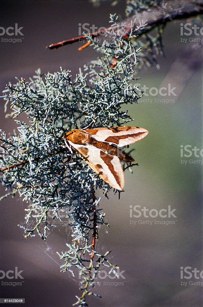 Butterfly Hyles euphorbiae in the steppe, Astrakhan region, Russia stock photo
