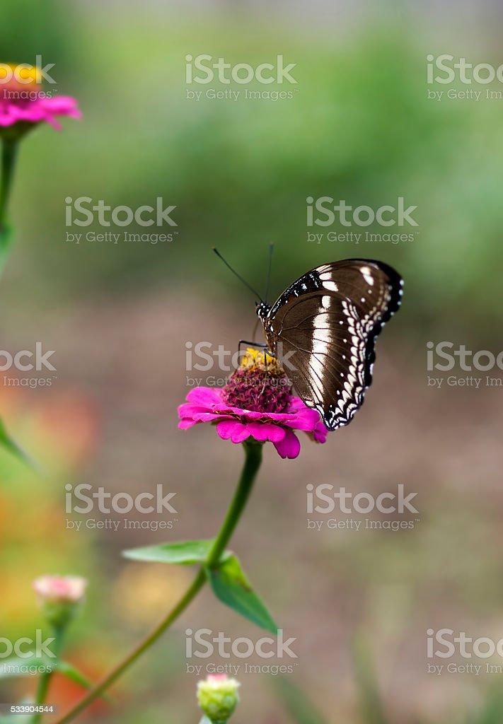 butterfly Hypolimnas bolina Common Eggfly female stock photo