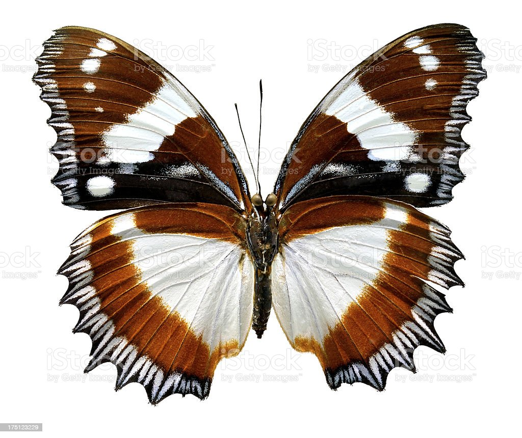 Butterfly Hypolimnas dexithea (Clipping path) royalty-free stock photo