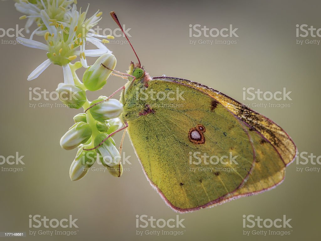 Butterfly in a flower royalty-free stock photo