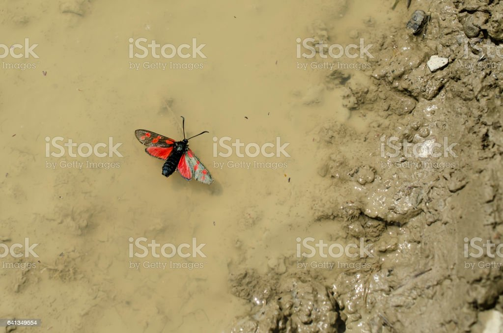 butterfly in a puddle stock photo