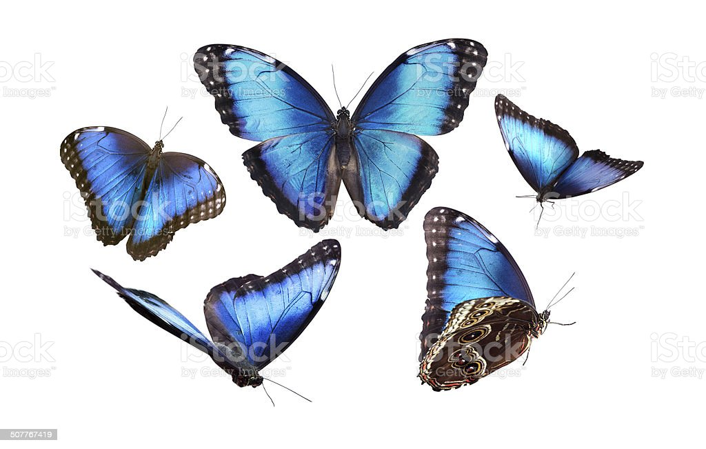 Butterfly in blue tones. Morpho stock photo