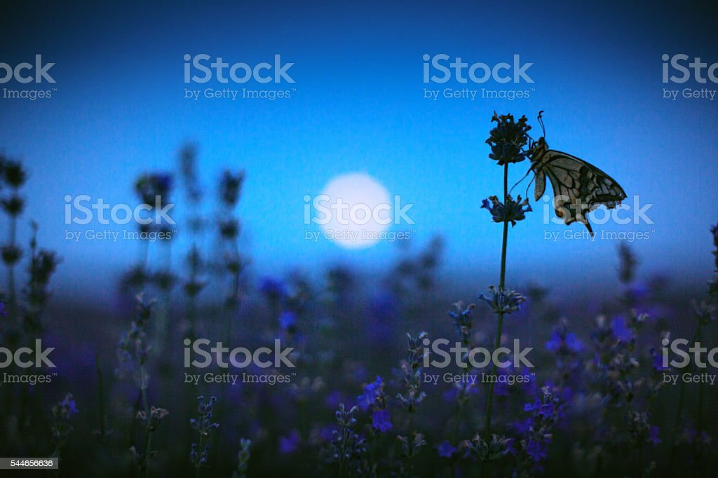 Butterfly in lavender field and moon light stock photo