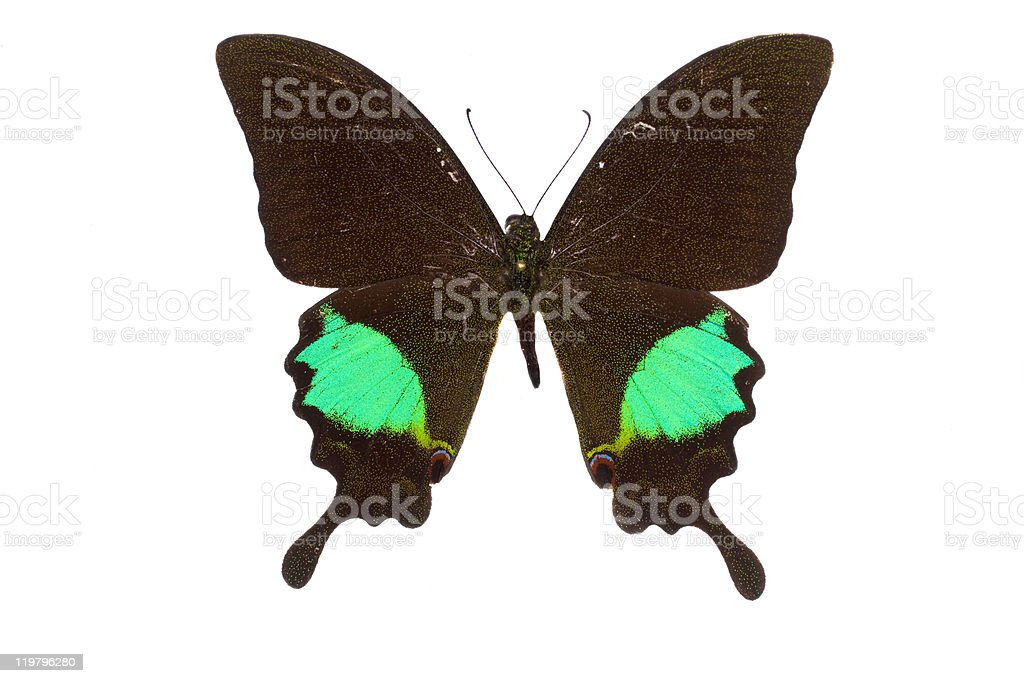butterfly in the collection-isolated stock photo