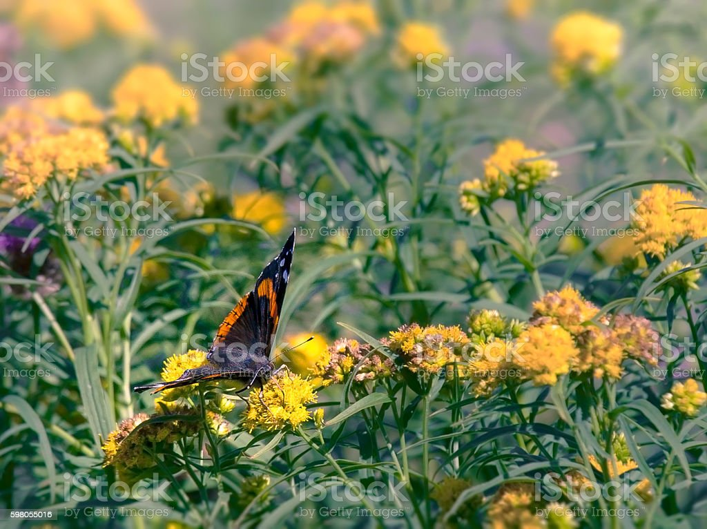 Butterfly in Wildfrowers stock photo