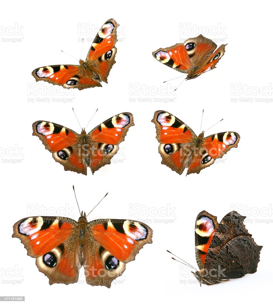 butterfly Inachis io royalty-free stock photo