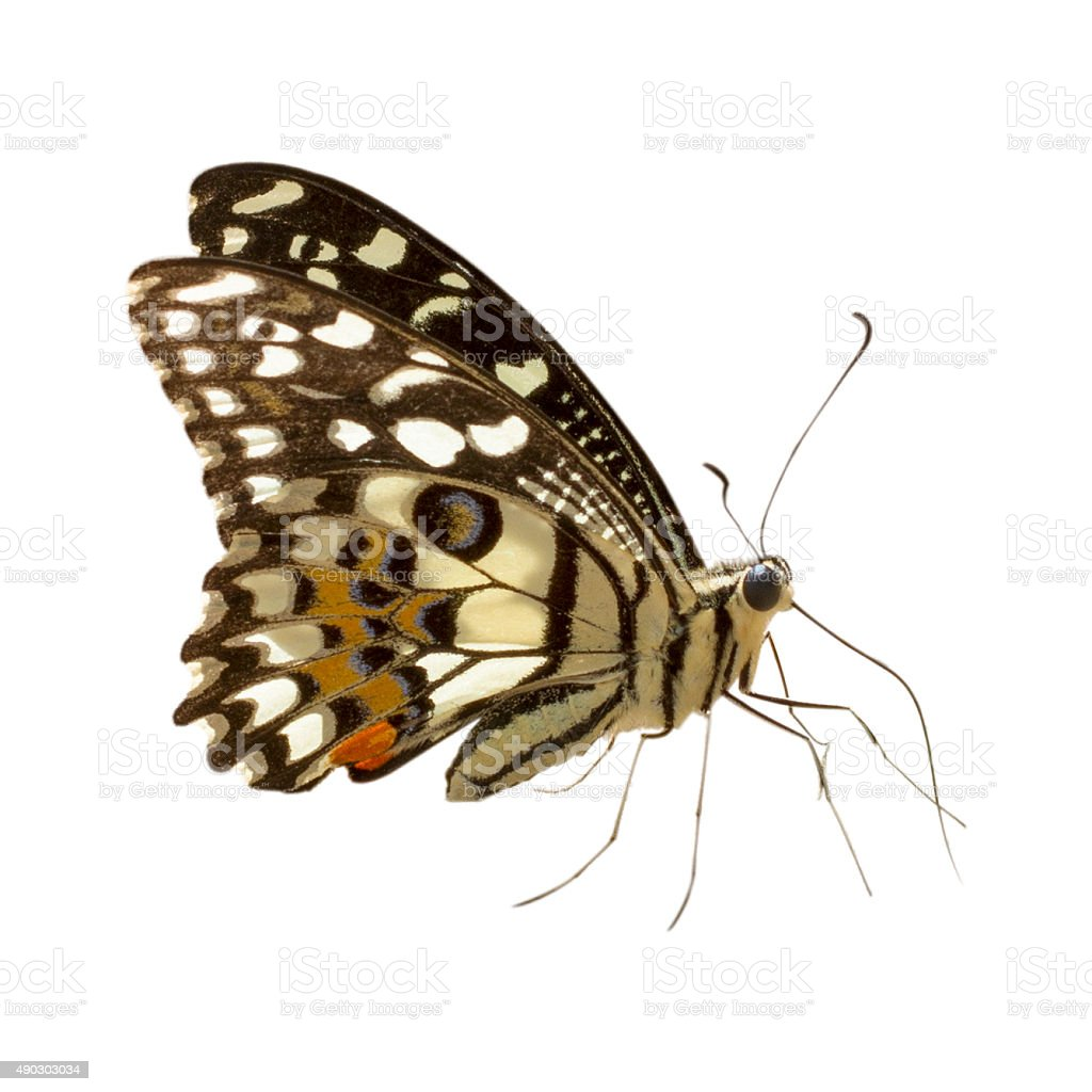 Butterfly isolated on white background stock photo