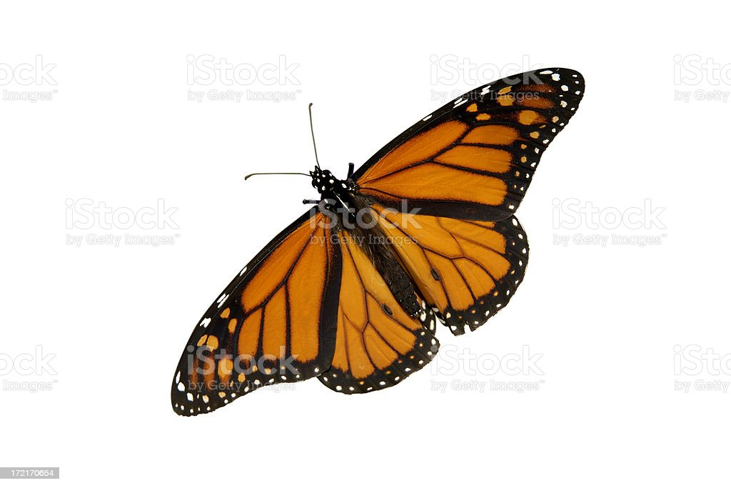 Butterfly isolated on white royalty-free stock photo