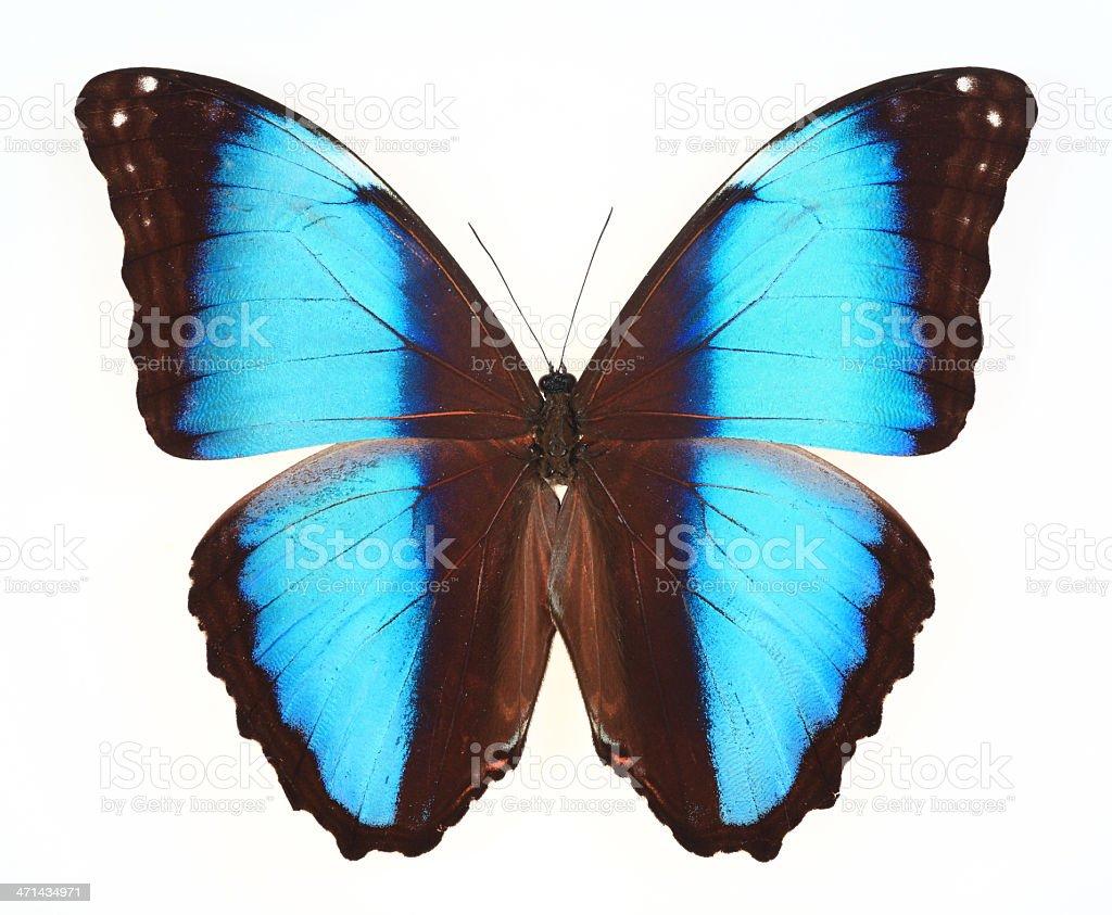 butterfly isolated on white(Morpho deidamia ) royalty-free stock photo