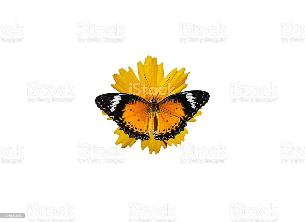 butterfly isolated stock photo