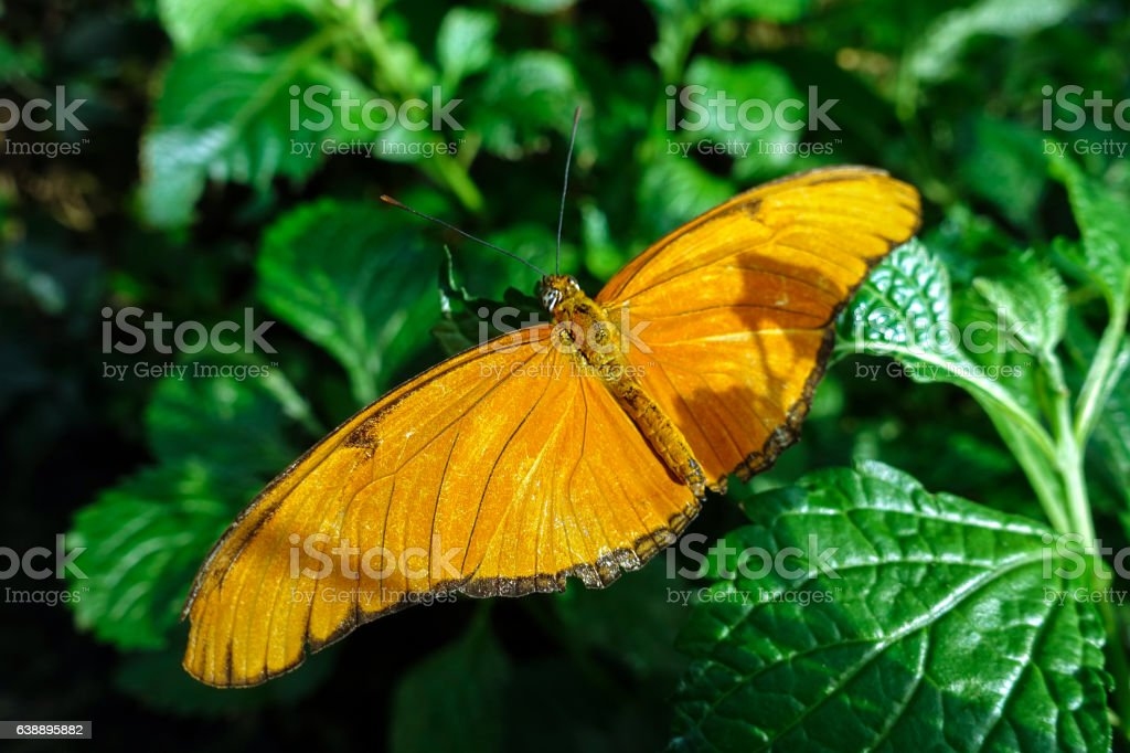 Butterfly Julia, (Dryas iulia),close up stock photo