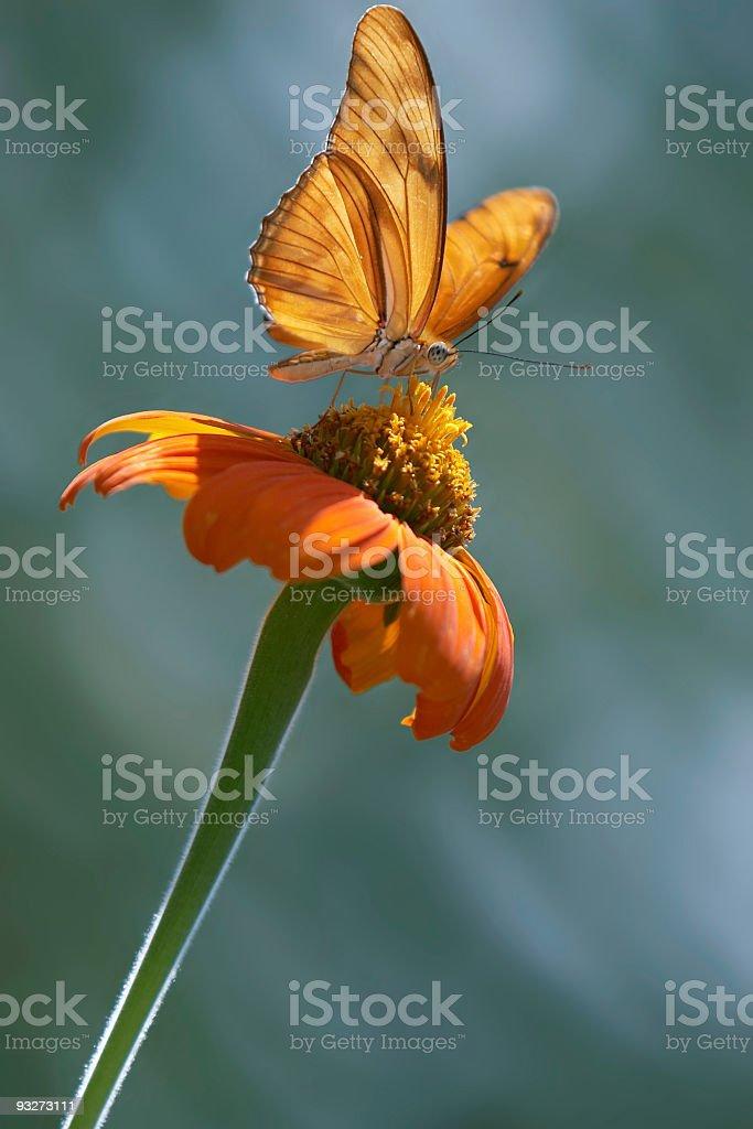 Butterfly - Julia stock photo