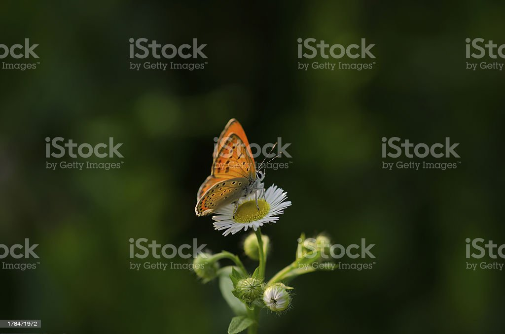 Butterfly king royalty-free stock photo