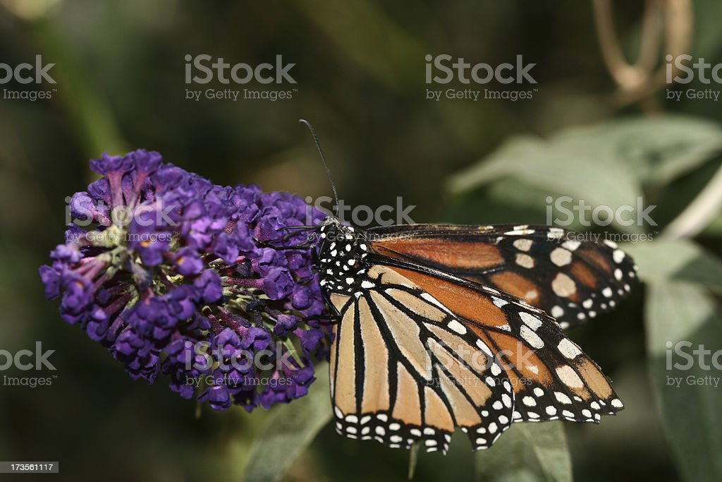 Butterfly Landed 2 royalty-free stock photo