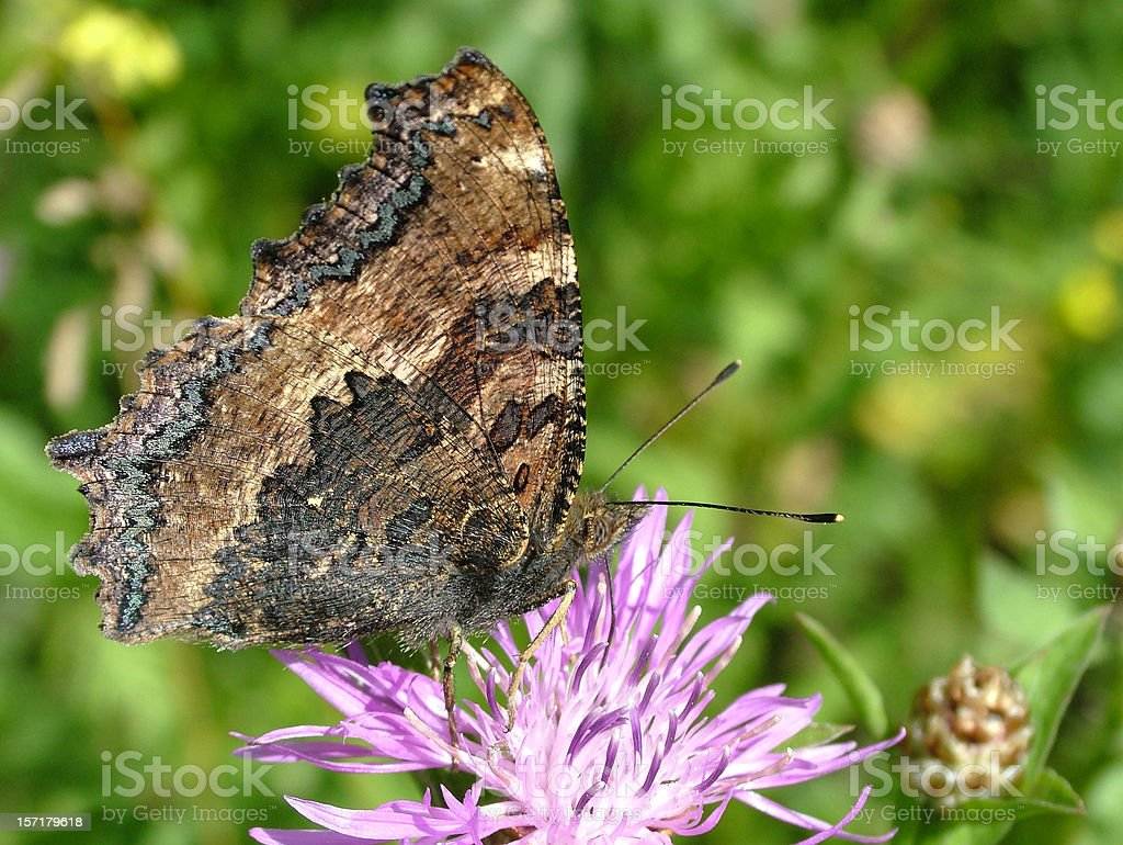 Butterfly Large Tortoiseshell stock photo