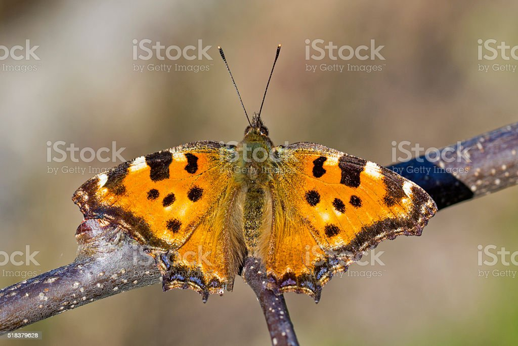 Butterfly Large tortoiseshell (Nymphalis polychloros) stock photo