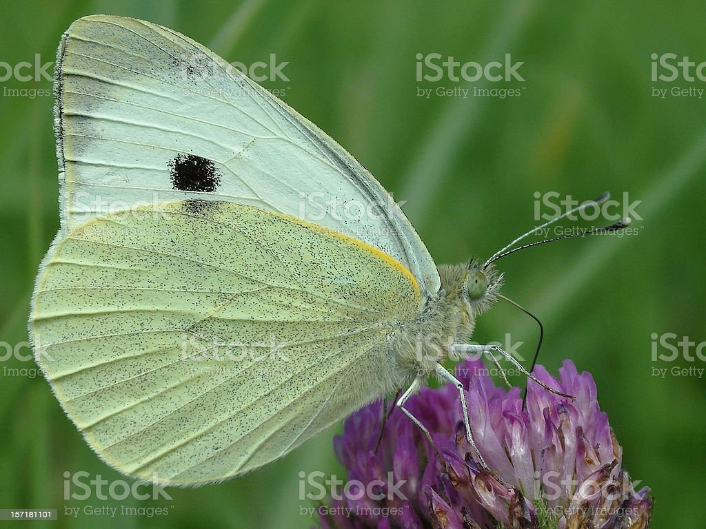 Butterfly Large White stock photo