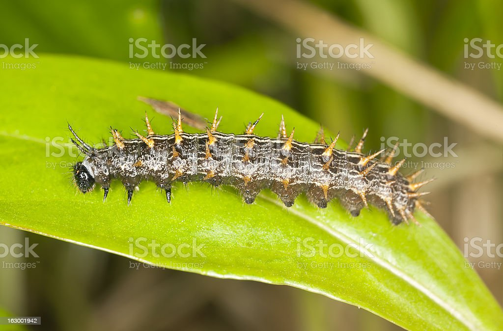 Butterfly larva on leaf, macro phot royalty-free stock photo