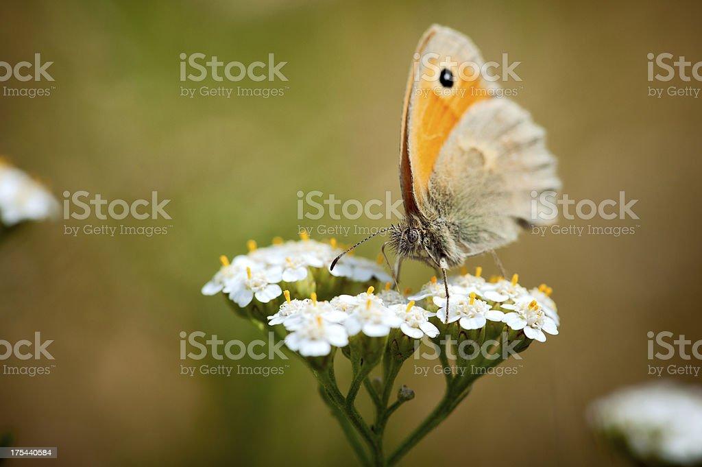 Butterfly, Lasiommata megera stock photo