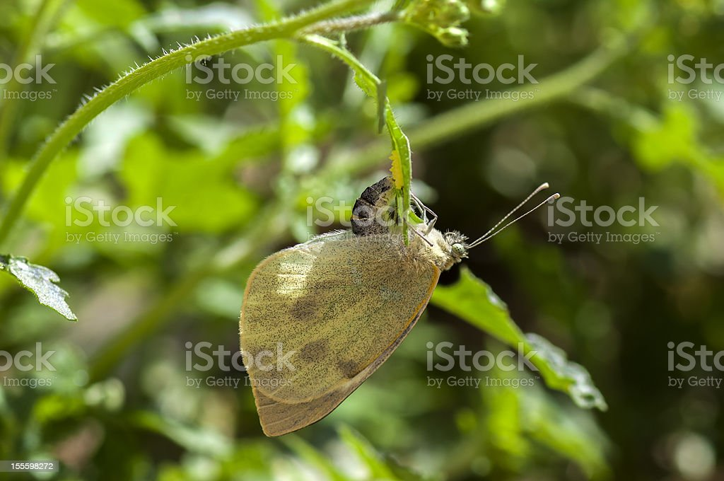 Butterfly laying eggs stock photo