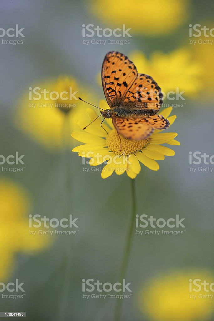 butterfly Lesser Marbled Fritillary (Brenthis ino) on yellow flowers stock photo