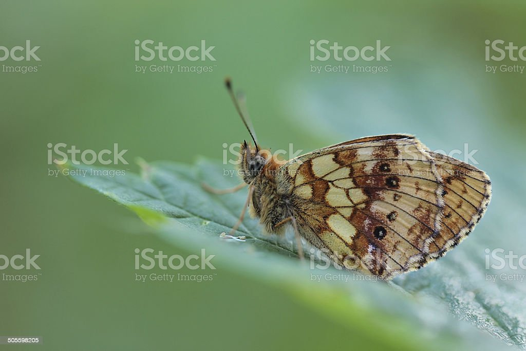 butterfly Lesser Marbled Fritillary (Brenthis ino) - perfect macro shot stock photo