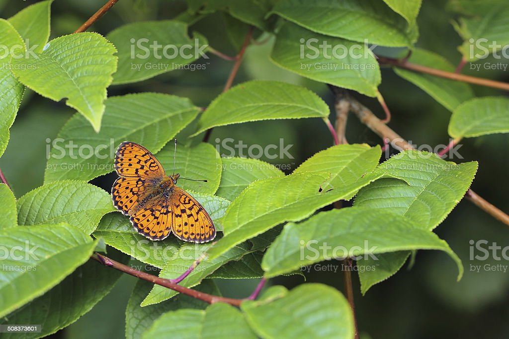 butterfly Lesser Marbled Fritillary (Brenthis ino) stock photo