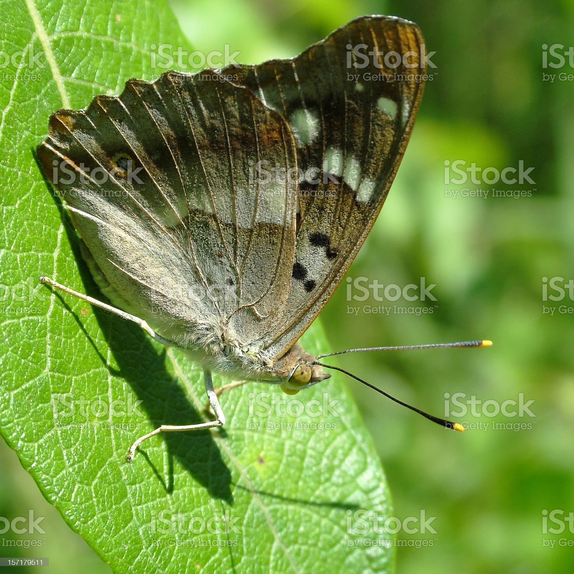 Butterfly Lesser Purple Emperor royalty-free stock photo