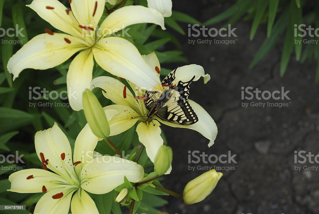 Butterfly lily stock photo