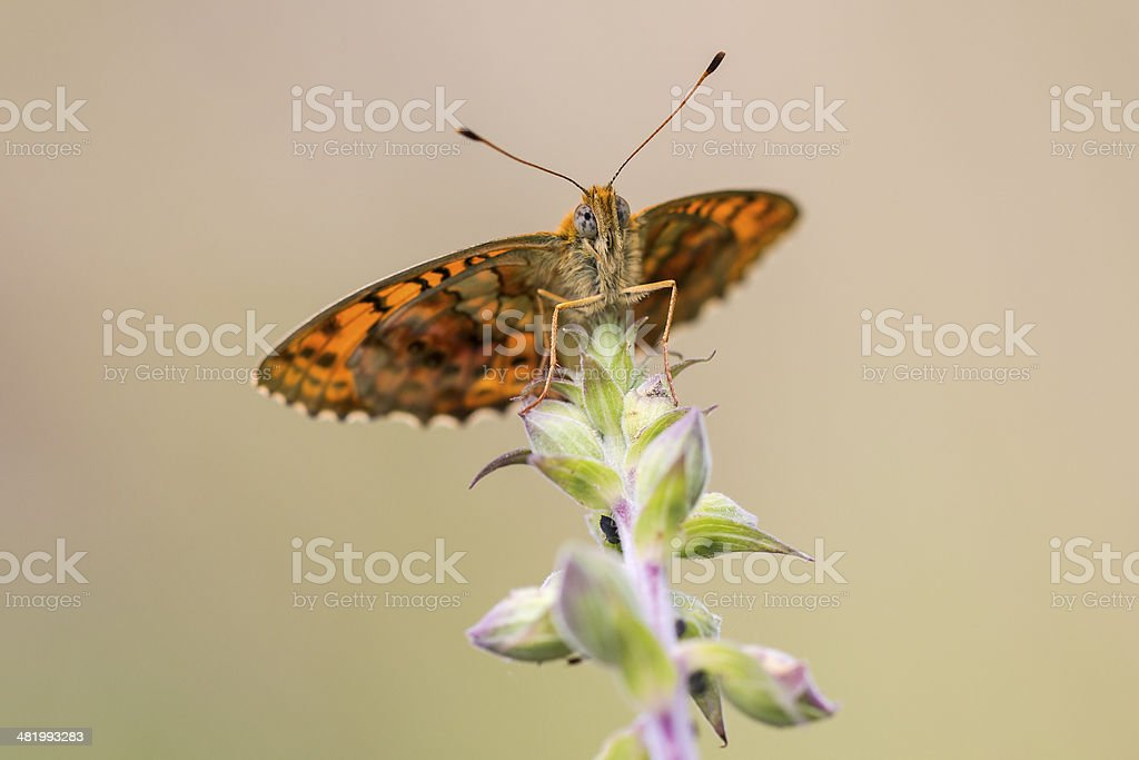 Butterfly low front view stock photo