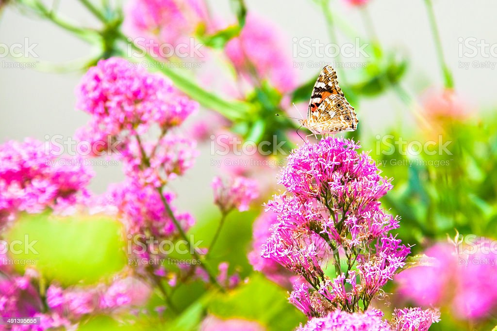 Butterfly machaon gently resting on a pink flower stock photo