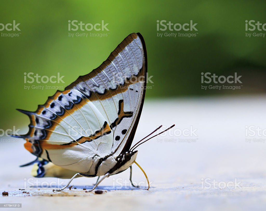Butterfly macro background asai thailand royalty-free stock photo