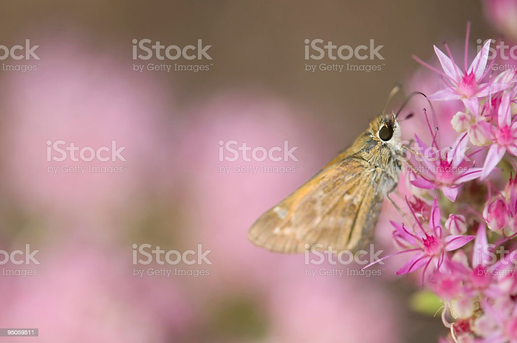 butterfly macro pink sedum flowers stock photo