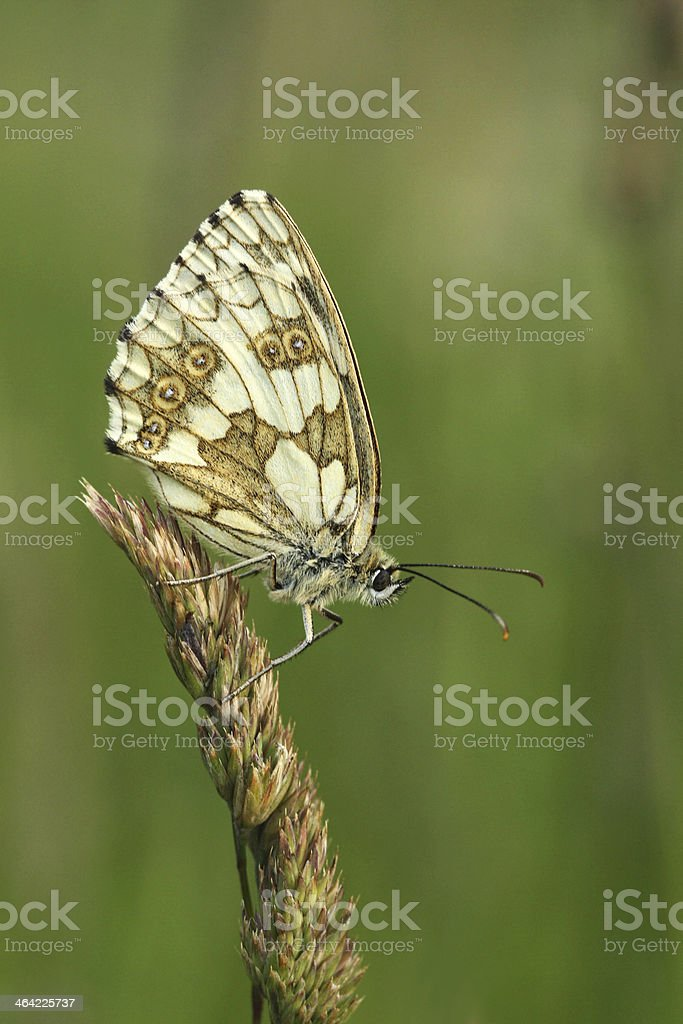 Butterfly - Marbled White (female) stock photo