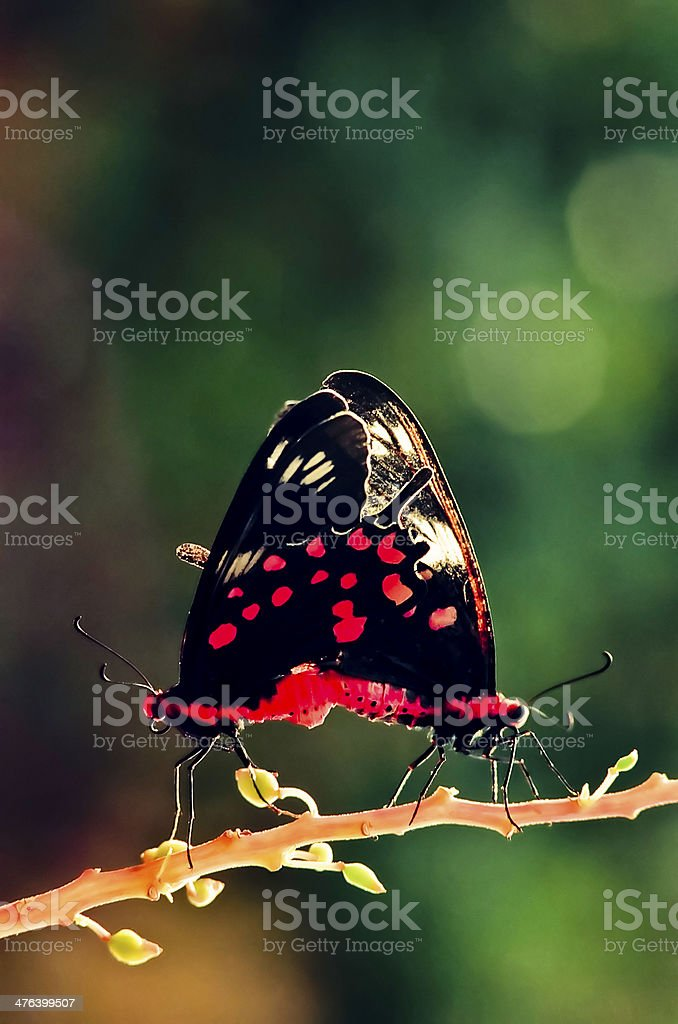 butterfly mate royalty-free stock photo