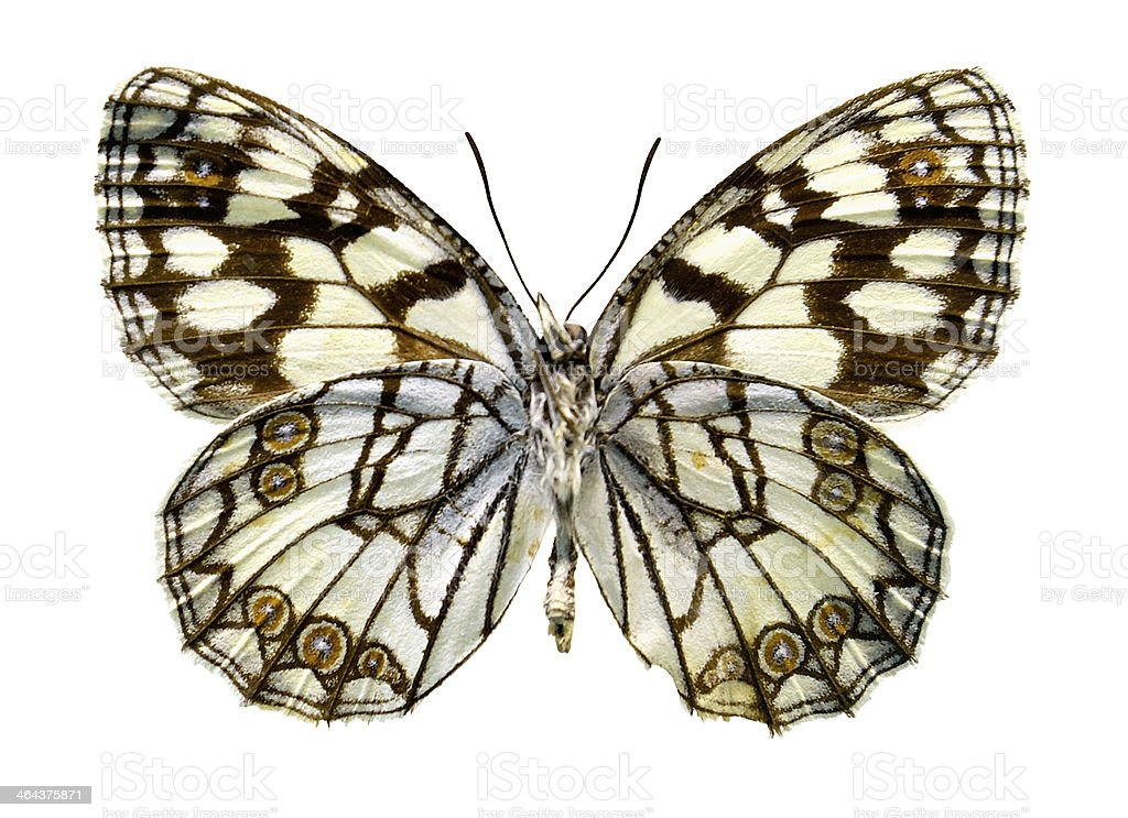 Butterfly Melanargia ines (Clipping path) royalty-free stock photo