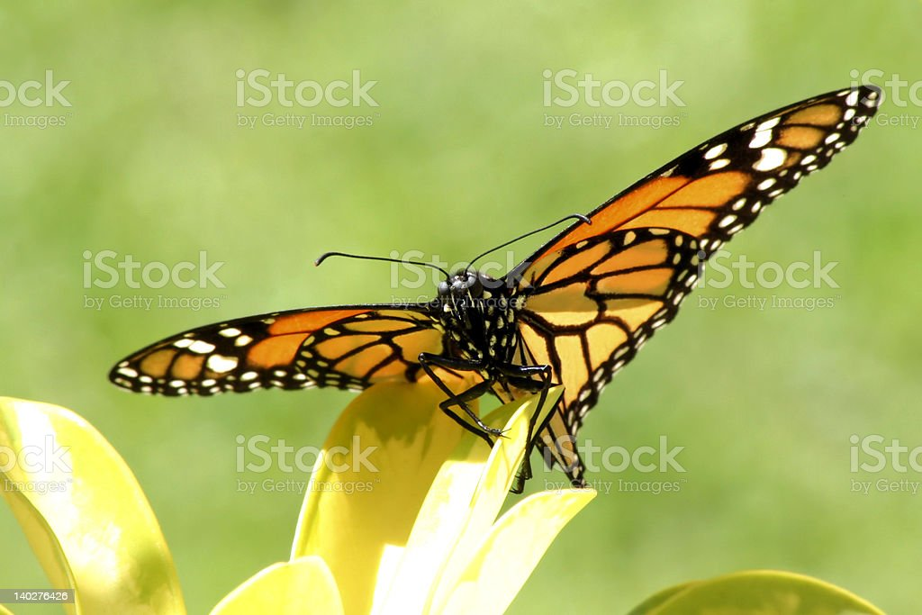 'Butterfly Monarch on the yellow flower' stock photo