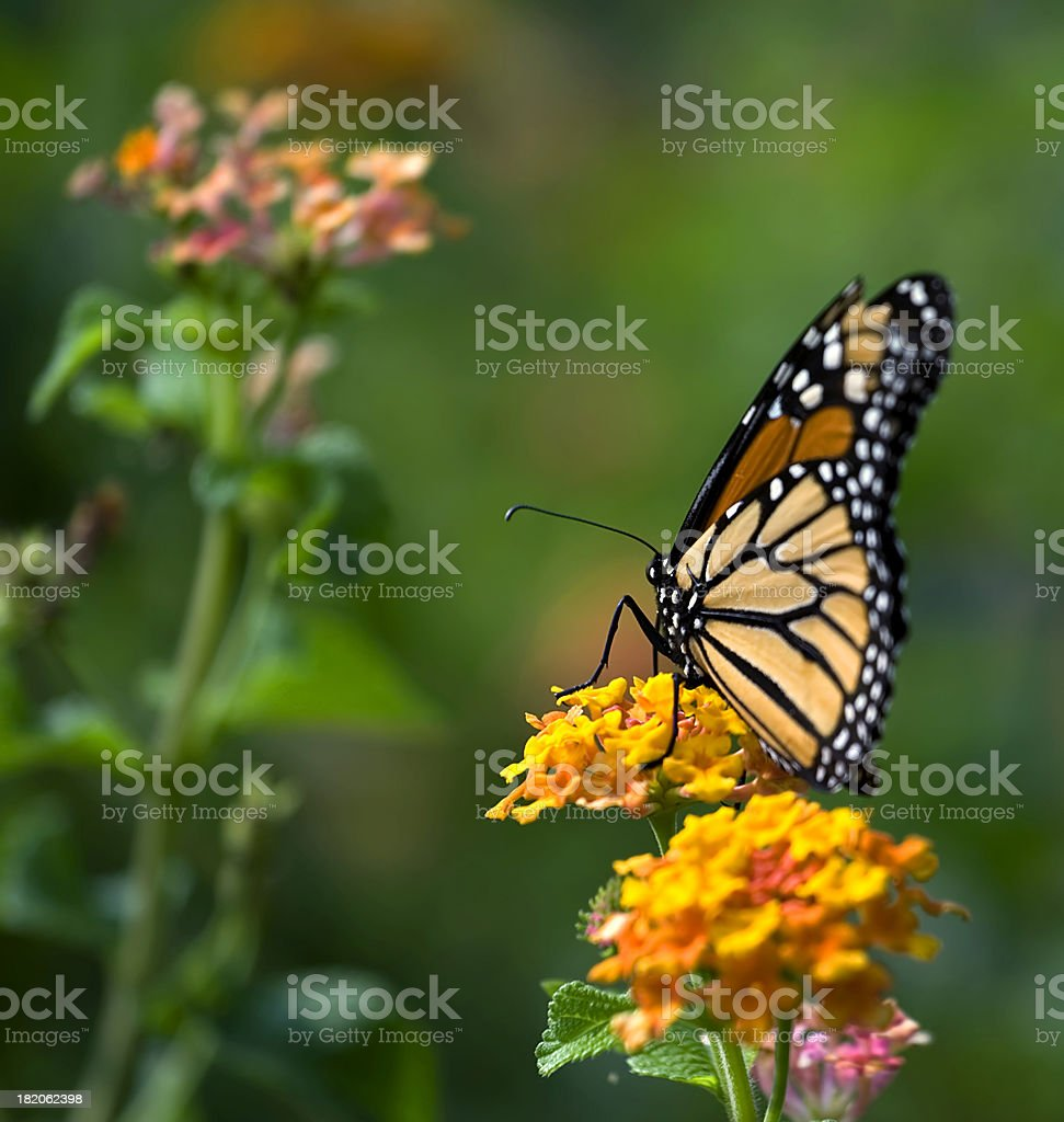 Monarque Butterfly royalty-free stock photo