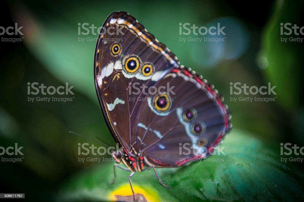 Butterfly - Morpho peleides stock photo