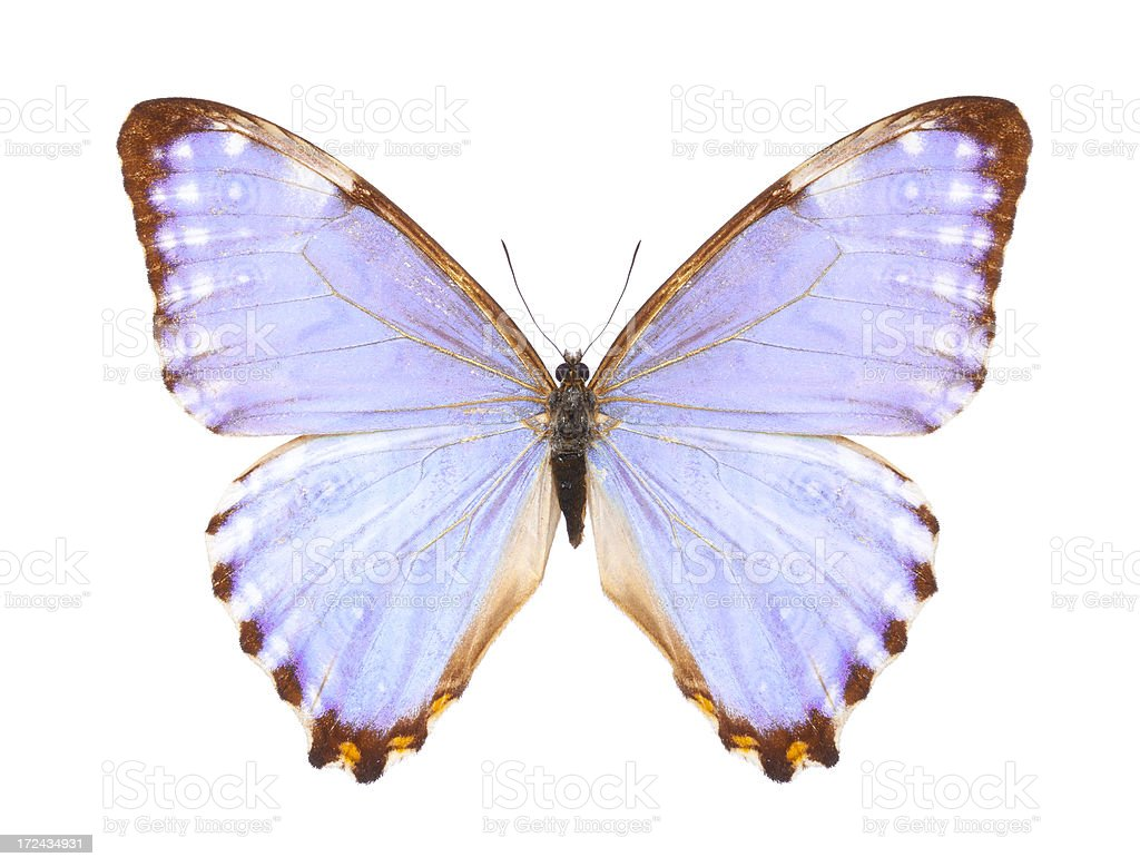 Butterfly Morpho Portis royalty-free stock photo