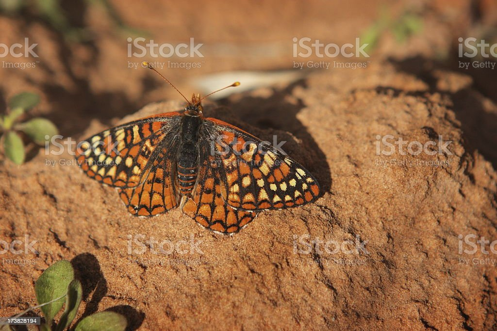 Butterfly Moth Riodinidae Metalmark Insect stock photo