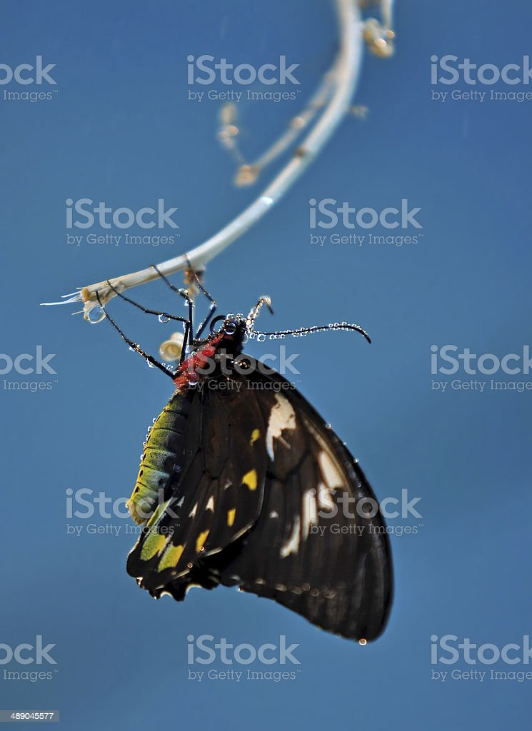 Butterfly on a blue background (Ornithoptera meridionalis) stock photo