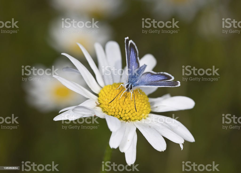 butterfly on a camomile stock photo
