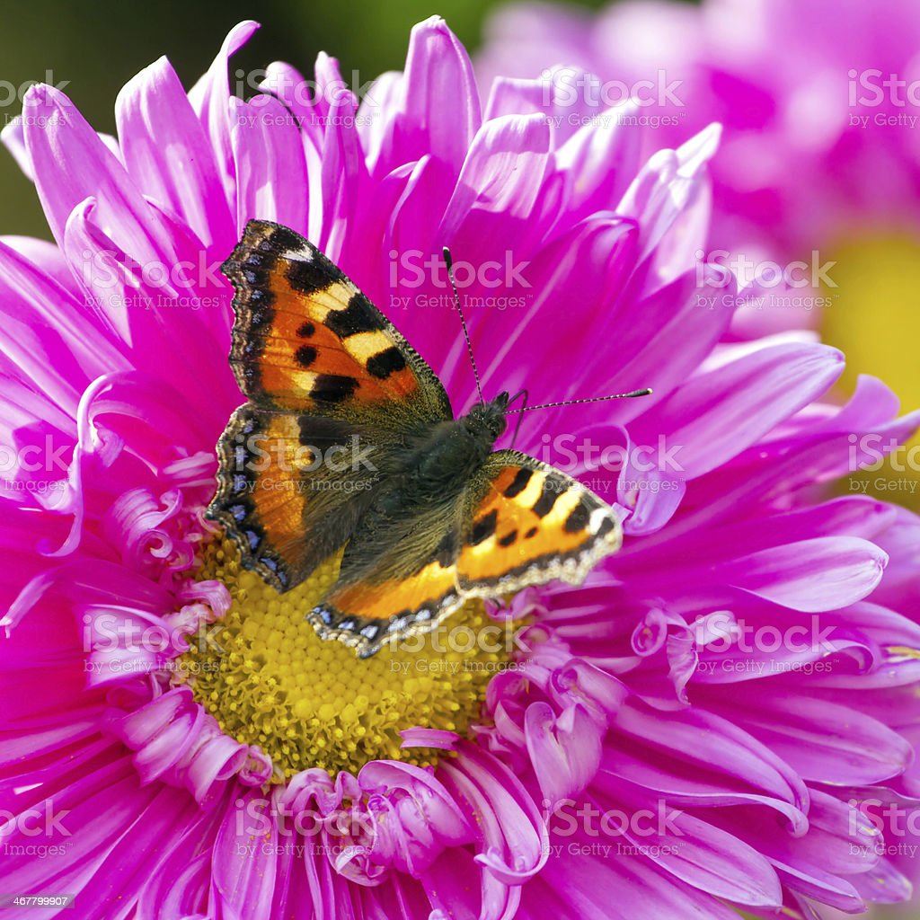 Butterfly on a chrysanthemum flower closeup stock photo