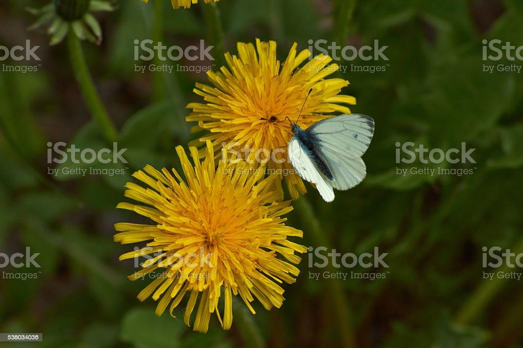Butterfly  on a flower a dandelion. stock photo