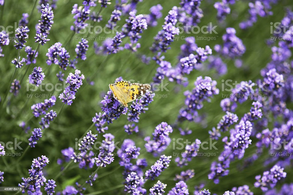 Butterfly on a lavender royalty-free stock photo