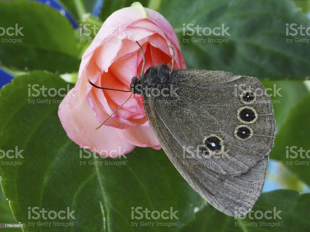 butterfly on a rose royalty-free stock photo