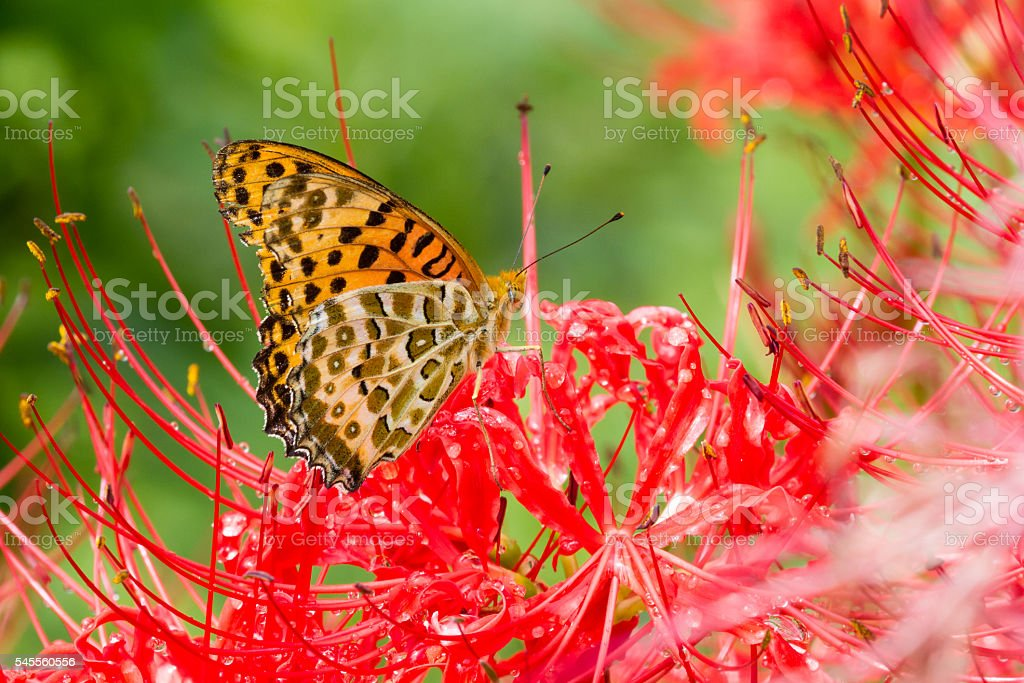 Butterfly on a Spider Lily stock photo