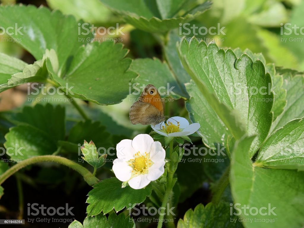 butterfly on a strawberry flower stock photo